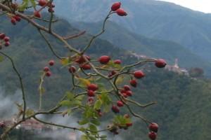 cinorrodi di rosa canina, 12 Ottobre 2004, Triora (IM) - Foto di Valeria Miceli