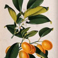 Gelatina di Kumquat