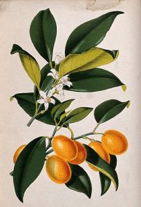 326px-A_lemon_plant_(Citrus_japonica);_flowering_and_fruiting_stem_Wellcome_V0044760